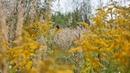 Полевые желтые цветы звуки природы цикады пение птиц отдых для души сна детей Золотарник