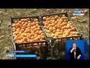 Ставрополец превратил заброшенный сад в фруктовый рай