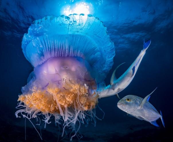 Атака рыб на медузу (Южная Африка)