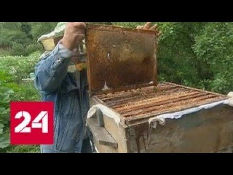 Пчелы гибнут за капитал: кто ответит за бесконтрольную травлю насекомых? - Россия 24