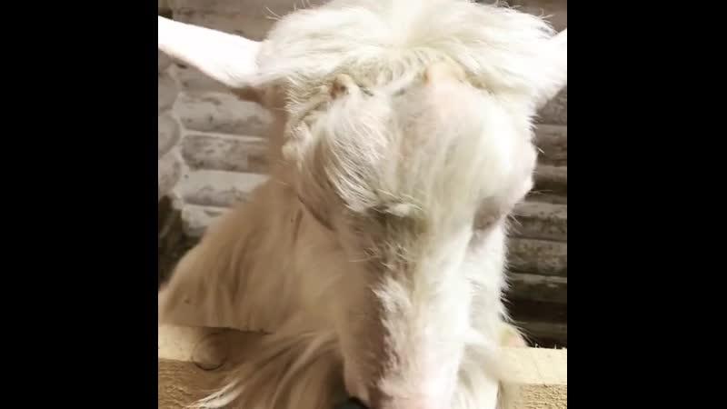 Вот говорят «козел вонючий». А куда ж ему деваться, если он для того вонюч-пахуч, чтобы козы на него внимание обращали Это для