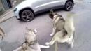Two Husky - VS - One Cat