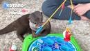 カワウソコタローとハナ 横取りして怒られちゃった魚釣りゲーム Otter K