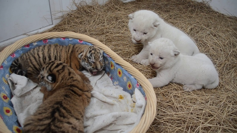 ТВЦ снимает сюжет про тигрят и белых львят