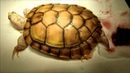 Выпадение полового члена у красноухой черепахи альбиноса A male albino caramel red eared slider has penile prolapse