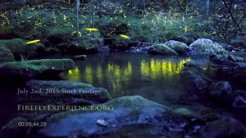 Tennessee Fireflies: Real Time Stock Footage of Synchronous Fireflies (2)
