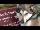 Очень трогательно Пёс плачет на могиле хозяина! Невероятно!