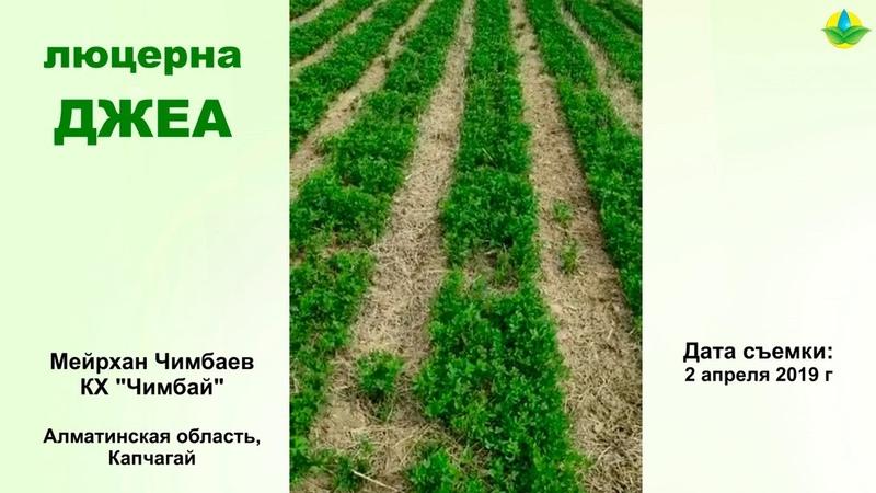 ЛЮЦЕРНА ДЖЕА В АЛМАТИНСКОЙ ОБЛАСТИ (02-04-2019)