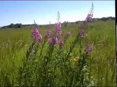 Полевые цветы на ветру Футаж