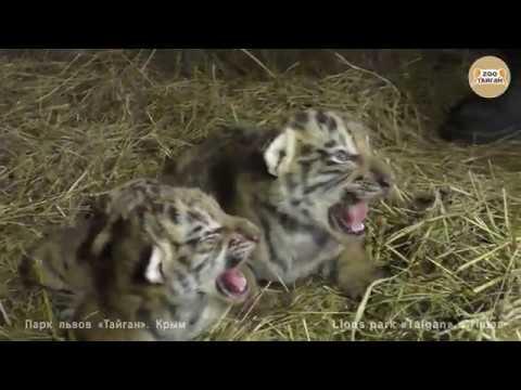 Тигрята Алтайчик и Тайганчик с сестричками. Tigers Altaj and Taigan with tiger cubs sisters.