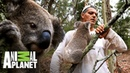 Koala intenta subir en Frank Wild Frank Tras la evolución de las especies Animal Planet
