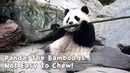 Panda The Bamboo Is Not Easy To Chew iPanda