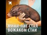 Мини-пиг стал вожаком собачьей стаи