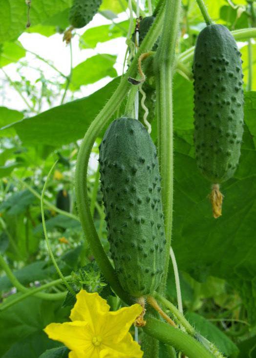 Огурцы могут быть сброжены в рассоле, чтобы сделать кислые соленые огурцы.
