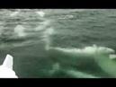 Удивительное морское явление огромная стая белух подошла к берегам Сахалина