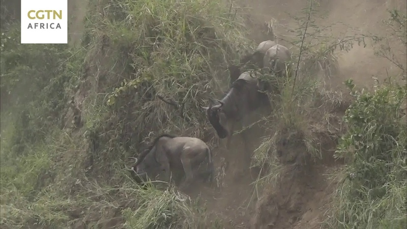 Wilderbeest make daring cross at Mara River