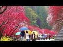 雨の阿智村月川温泉郷、花桃の里を歩いてみた