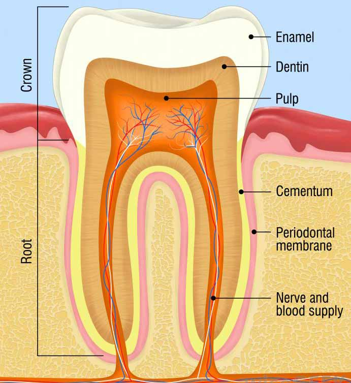 Простое удаление зуба выполняется стоматологом, а оральный хирург будет выполнять хирургическое удаление зуба