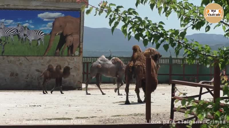 Верблюжонок Локки с семьей. Верблюды Тайгана. Camel cub Lokky with his family. C