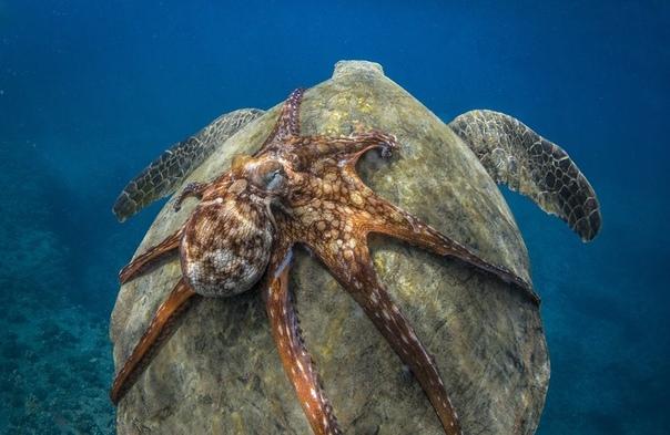Осьминог отлично устроился на черепахе