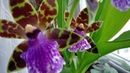 Цветение зигопеталума Зигопеталум уход Первое домашнее цветение Зигопеталума Jumpin Jack