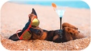 Dachshund, who doesn't waste summer! Funny dog video!