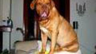 Dogue de Bordeaux in very funny situations