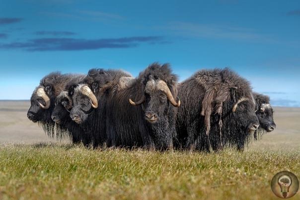 Овцебык В пластах земли, там, где находятся ископаемые останки мамонтов, шерстистых носорогов и других животных, обитавших в северных странах в ледниковое время, попадаются в немалом числе и