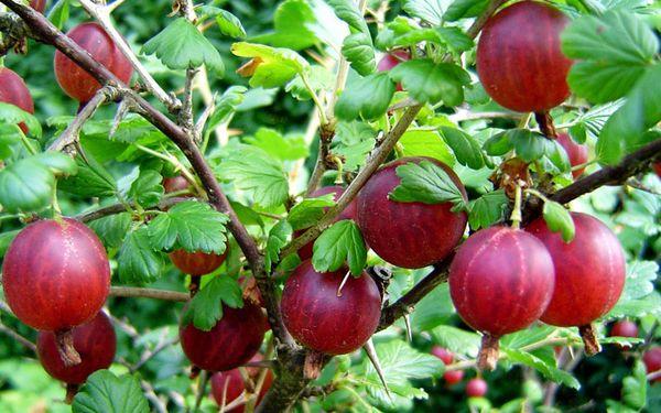 ПОПУЛЯРНЫЕ СОРТА КРЫЖОВНИКА Польза ягод крыжовника для человеческого организма никогда не была секретом. Сочные, мясистые плоды содержат большое количество необходимых для жизней витаминов.