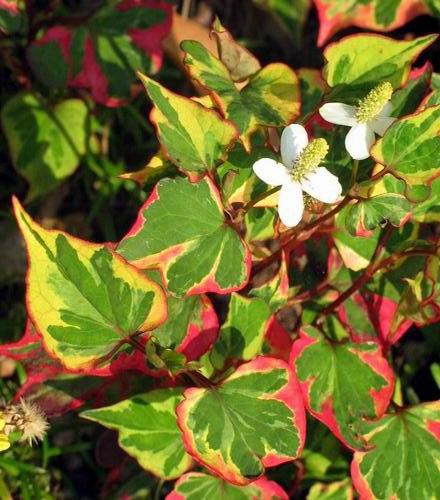 ХАУТТЮНИЯ Хауттюния растение, которое обладает неповторимым очарованием: яркие, розово-желто-зеленые листья выглядят очень эффектно, в тоже время нежно-белые цветочки, затерявшиеся в шапке