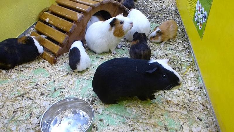 Ручной Зоопарк Ч3 Морские свинки