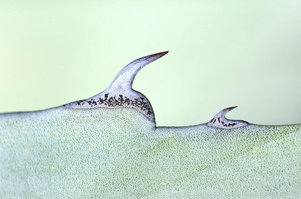 Шипы агавы. (Снято в Испании)