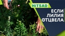 Что ЕСЛИ Лилии Отцвели 🌺 Уход За Лилией После Цветения 🌸 Цветоводство с Хитсад ТВ