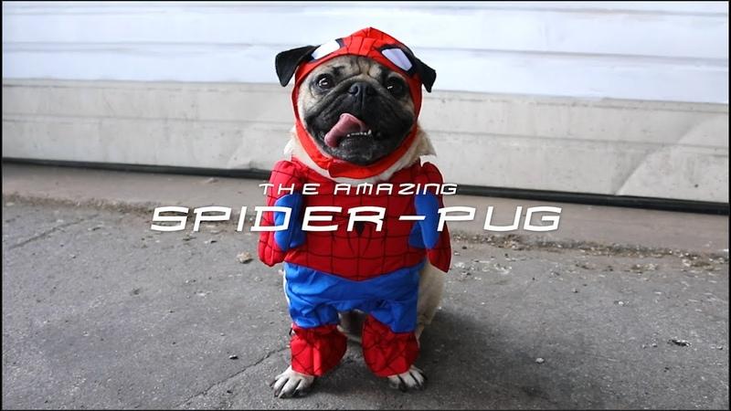 SPIDER PUG Doug The Pug