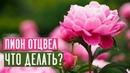 Пионы 🌺 Уход и подкормка после цветения / Садовый гид