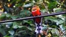 Birds of Malaysia.