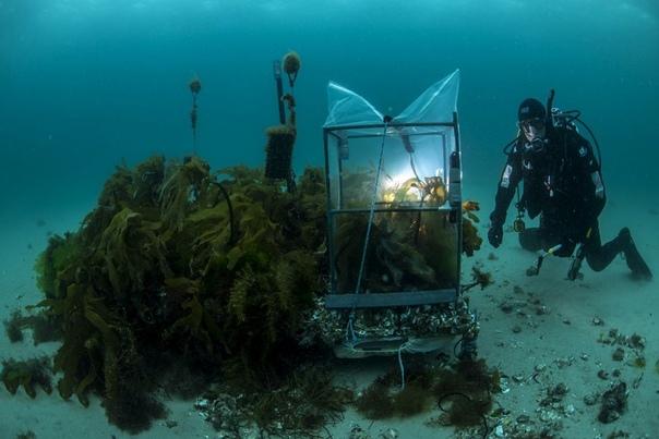 Морской эколог Крейг Джонсон проверяет участок недавно высаженной ламинарии