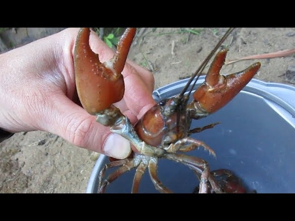 Trapping Big Signal Crayfish in the Pacific Northwest