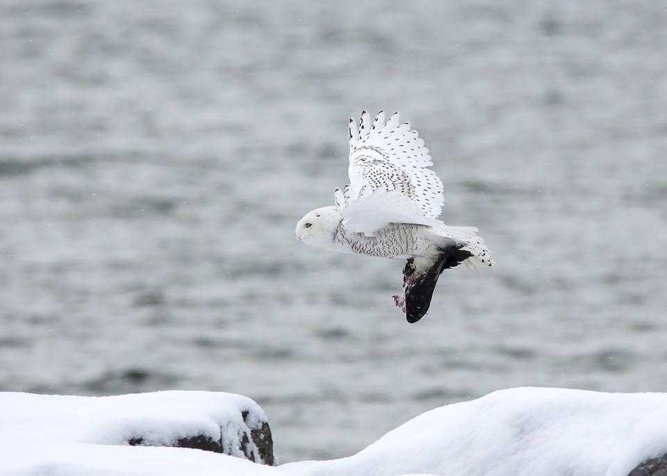 Белая, полярная сова на охоте