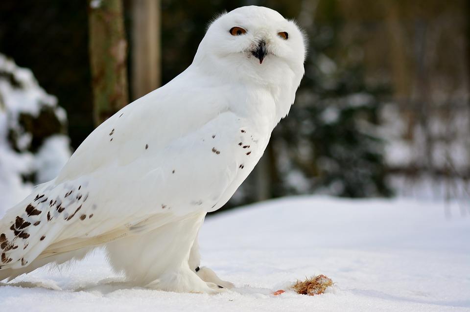 Полярная сова. Белая сова