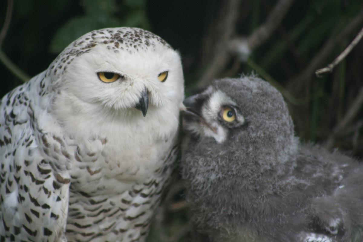Птенцы полярной совы