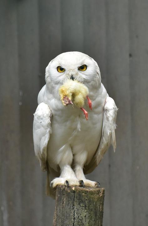 Полярная сова и ее добыча