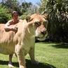 "Instagram Bodybuilding Fitness on Instagram: ""Ligers🐯 Worlds Biggest Cat 🐈@kodyantle - lion wildanimals shreddedlegends"""