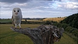 The beautiful moment a barn owl lifts off into the air