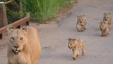Lioness with Cubs in Pilanesberg National Park - 022017 - South Africa