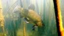 Рыба Линь Охраняет Свою Территорию. Подводная съемка