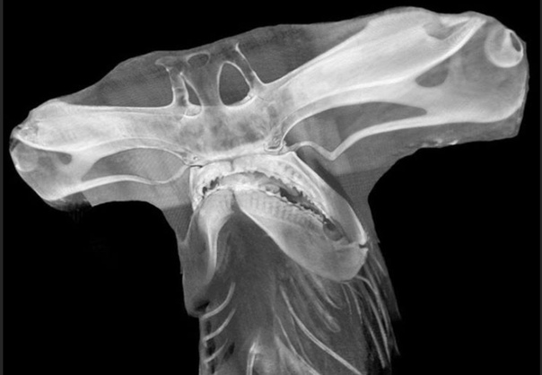 Рентгеновский снимок черепа акулы-молота