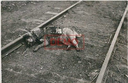 Собака-истребитель танков, убитая в ходе боев