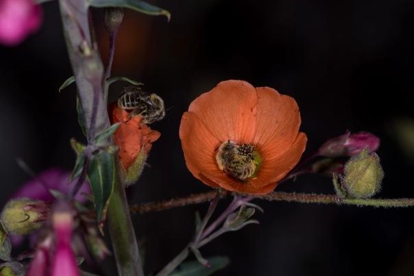 Фотограф сделал серию фотографий, на которых запечатлел спящих пчел в цветке.