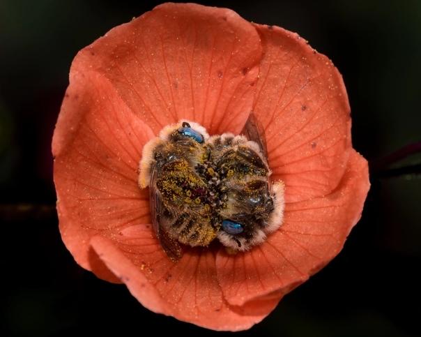 Фотограф сделал серию фотографий, на которых запечатлел спящих пчел в цветке. Пчелы спят 5-6 часов в течение дня, а некоторые - держат лапки друг друга во время сна.Фото: Joe